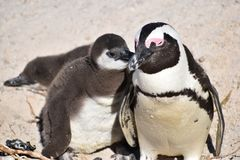Closeup of a cute Penguin family on the Boulders Beach in Cape Town in South Africa. Closeup a cute Penguin on the Boulders Beach in Cape Town in beautiful South stock image