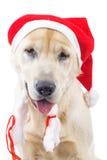 Closeup of a cute labrador retriever wearing santa claus hat Royalty Free Stock Images