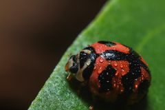 Closeup of a cute lady beetle bug crawling and rest on a wet green leaf full of dew from rain on a cold day, its their natural stock photo