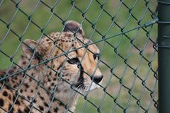 A cheetah behind a fence in the zoo in spring closeup royalty free stock photo