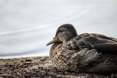 Closeup of a cute mallard duck resting near the sea. A closeup of a cute mallard duck resting near the sea stock photography
