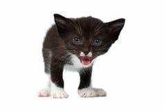 Closeup Cute Meowing Black Chocolate Kitten on White Royalty Free Stock Photo