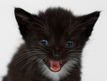 Closeup Cute Meowing Black Chocolate Kitten on White Royalty Free Stock Photos
