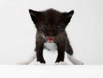 Closeup Cute Meowing Black Chocolate Kitten on White Stock Photos