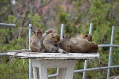 Closeup of a cute monkey family sitting on a table at the monkey mountain Khao Takiab in Hua Hin, Thailand, Asia. Closeup of a cute monkey family sitting on a Royalty Free Stock Image
