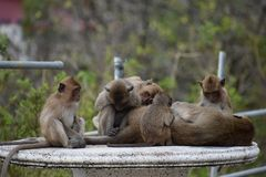 Closeup of a cute monkey family sitting on a table at the monkey mountain Khao Takiab in Hua Hin, Thailand, Asia. Closeup of a cute monkey family sitting on a Stock Photography