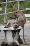 Closeup of two cute monkeys on a table at the monkey mountain Khao Takiab in Hua Hin, Thailand, Asia stock photo