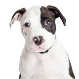 Closeup Cute Pit Bull Puppy. Close-up portrait of cute little Pit Bull puppy looking forward into camera over white Stock Photos