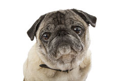 Closeup Cute Pug Dog Face Royalty Free Stock Images