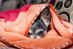 Closeup of a cute sad chihuahua dog under the blanket. At home Royalty Free Stock Photo