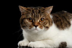 Closeup Cute Scottish Straight Lying Cat Face, Isolated Black Background Stock Images