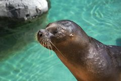 Closeup of cute sea lion seal in the water. Closeup of cute sea lion seal in the blue water royalty free stock images
