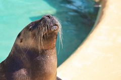 Closeup of cute sea lion seal in the blue water. Closeup of cute sea lion seal in the water royalty free stock photo