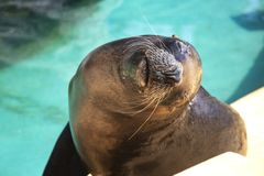 Closeup of cute sea lion seal in the water. Closeup of cute sea lion seal in the blue water royalty free stock photography