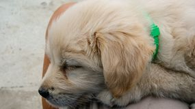 Closeup of cute sleeping labrador retriever puppy stock photo