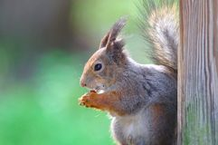 Cute squirrel stock images