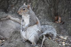 Closeup of a cute squirrel sitting in a park on a tree branch in Washington on a sunny spring day. Closeup of a cute brown squirrel sitting in a park on a tree Stock Images