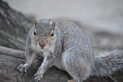 Closeup of a cute squirrel sitting in a park on a tree branch in Washington on a sunny spring day. Closeup of a cute brown squirrel sitting in a park on a tree Stock Photo