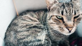 Tabby cat resting in a cozy box. Closeup of a cute tabby cat with green eyes resting in its box stock footage