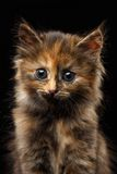 Closeup Cute Tortie Kitten on Black background Stock Photo