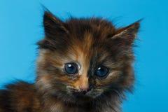 Closeup Cute Tortie Kitten on Blue Stock Photography
