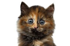 Closeup Cute Tortie Kitten on White background Royalty Free Stock Image