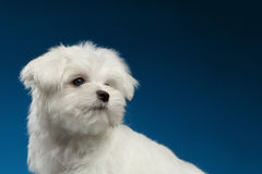 Closeup Cute White Maltese Puppy with Pity Face Looking Back. On blue background Stock Images