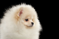 Closeup Cute White Pomeranian Spitz Dog Funny Looking, isolated,Profile Royalty Free Stock Images