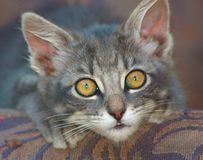 Closeup of a cute, wide-eyed kitten royalty free stock photo
