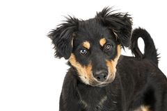 Cute Black and Tan Crossbreed Puppy Closeup. Closeup of a cute young mixed large breed puppy with black and tan color fur looking into camera Royalty Free Stock Image