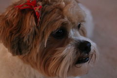 Closeup of a cute Zuchon or Shichon dog. Closeup of a brown and white Shichon dog with a red bow on her ear royalty free stock photo