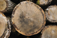 Closeup on cutting tree Royalty Free Stock Image