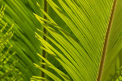 Closeup of cycad palm leaf Stock Photo