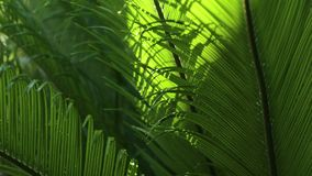 Closeup of Cycads leaves and wind in natural light. Backgrounds