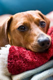 Closeup of Dachshund resting on toy Stock Photos