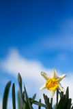 Closeup of daffodil against a blue sky Stock Photography