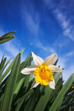 Closeup of daffodils against a blue sky Stock Photos