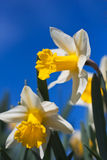 Closeup of daffodils against a blue sky royalty free stock photos