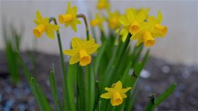 Closeup of daffodils at the beginning of spring stock video footage