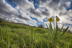 Closeup of Daffodils on the meadow in the spring stock photography
