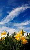 Closeup of daffodisl against a blue sky stock photo