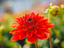 Closeup of dahlia flower with bud at closeup Royalty Free Stock Image
