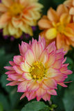 Closeup dahlia flower in garden Stock Photography