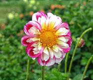 Closeup of dahlia in the garden - the flower is in full bloom with petals in color tones from pink and red to orange and yellow. It`s surrounded by dahlias Stock Photography