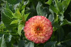 Dahlias in garden. Closeup of a Dahlias flower. Detail, dahlias in garden. Summer and autumn flowers stock images