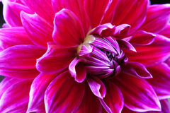 Closeup of a Dahlias flower Stock Photos