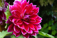 Closeup of a Dahlias flower. Dahlias  flowers in the garden Royalty Free Stock Images