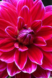 Closeup of a Dahlias flower Stock Image