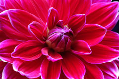 Closeup of a Dahlias flower Royalty Free Stock Photos