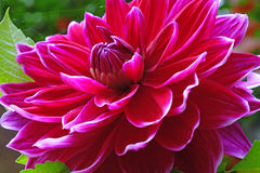 Closeup of a Dahlias flower Stock Images